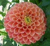 Розовый Антошка