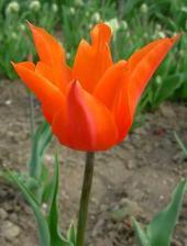 Тюльпан лилиецветный Ballerina