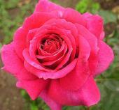Роза Биг Пурпле