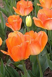 Тюльпан Daydream