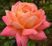Роза Люстиге