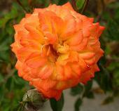 Миниатюрная роза Санмейд