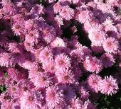 Бордюрная хризантема Драгоценность