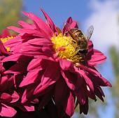 Журчалка на бордюрной хризантеме Корсине