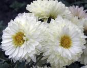 Хризантема Цирконий