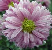 Хризантема Малютка розовая