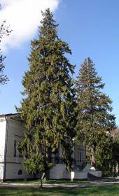 Два огромных дерева ели обыкновенной у входа в особняк