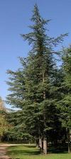 Ливанский кедр