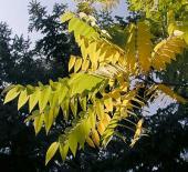 Черный орех. Листья