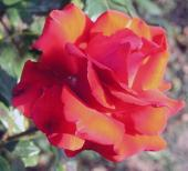 Роза Паола