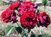 Роза Инзель Майнау