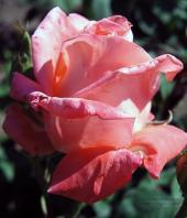 Роза Рафаэлло