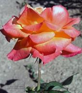 Роза Фрозинн