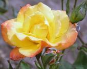 Роза Парео