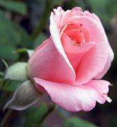 Роза Сильвия в бутоне