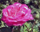 Роза Кубиночка