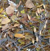 Тюльпанное дерево. Листья и плоды