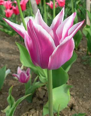 Тюльпан лилиецветный Ballada. Автор фото: Елена Дзюненко