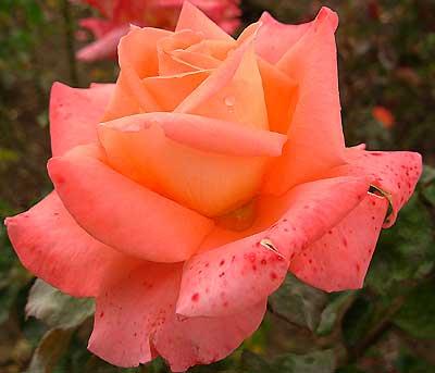 фото роза фольклор