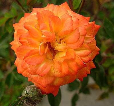 Миниатюрная роза Санмейд. Автор фото: Елена Дзюненко