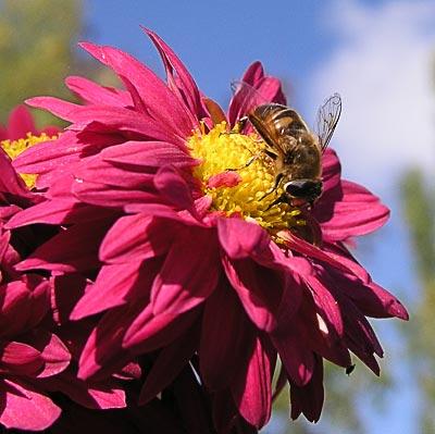Журчалка на бордюрной хризантеме Корсине. Автор фото:  Сергей Леонов
