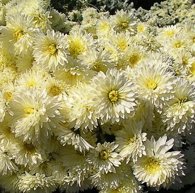 Бордюрные хризантемы. Автор фото:  Сергей Леонов