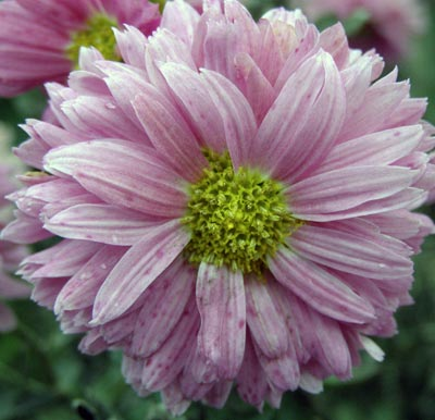 Хризантема Малютка розовая. Автор фото: И. Г. Савушкина