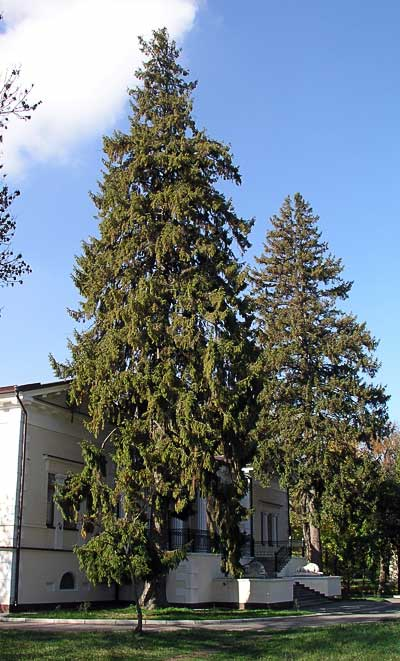 Два огромных дерева ели обыкновенной у входа в особняк. Автор фото:  Сергей Леонов