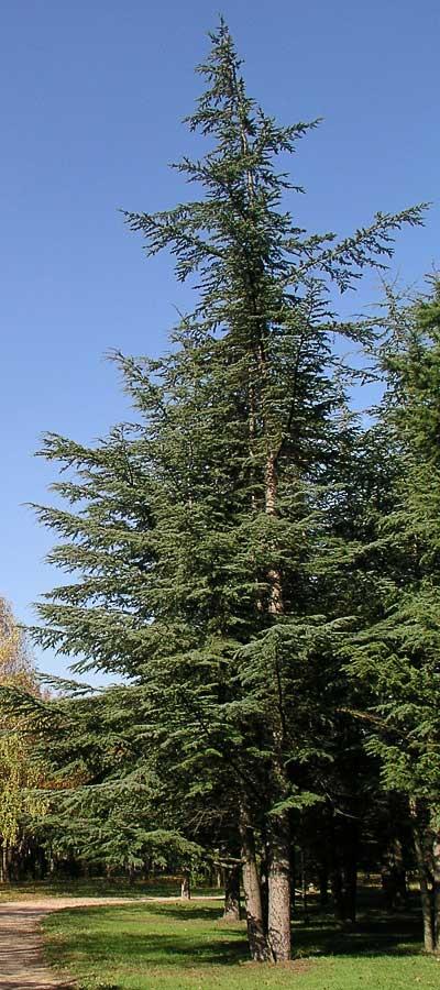 Ливанский кедр. Автор фото:  Сергей Леонов