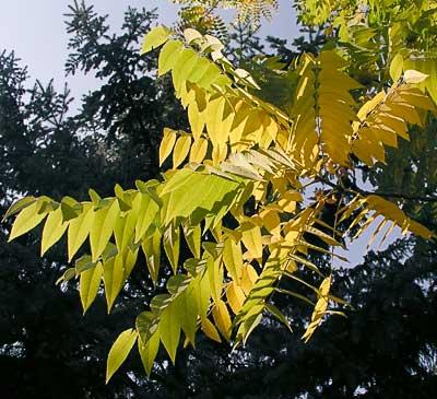 Черный орех. Листья. Автор фото:  Сергей Леонов