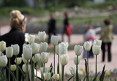 Тюльпаны на Большой цветочной поляне